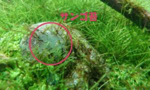サンゴ苔アップ