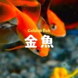 金魚をシンプルに楽しむための水槽セッティング ー必要機材、セット方法を詳しく解説ー