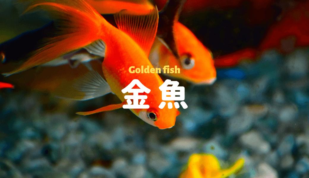 金魚をシンプルに飼う