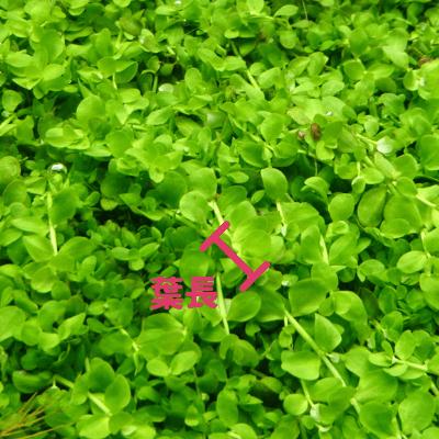 有茎草の葉長