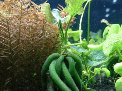バナナプラント