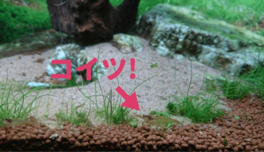【苔対策に!】シナヌマエビを川で採集して使う