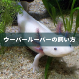 ウーパールーパーの飼い方