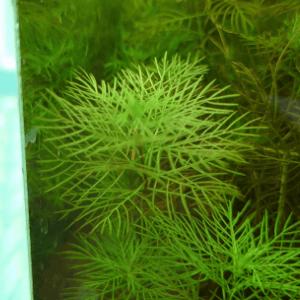 正常な水草