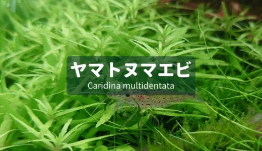 【藻類対策NO1!】ヤマトヌマエビを詳しく解説
